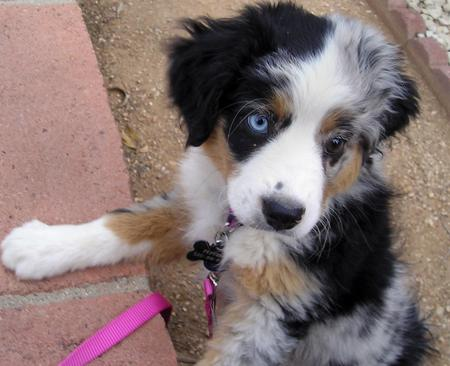 Pepper the Australian Shepherd Pictures 190889