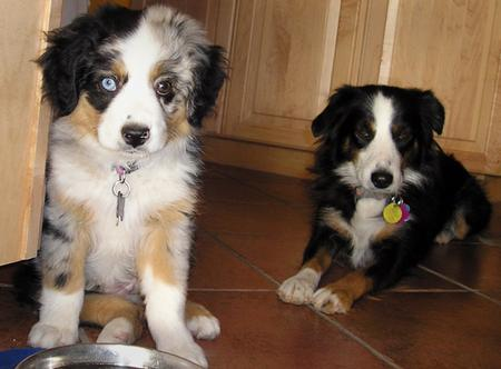 Pepper the Australian Shepherd Pictures 190892
