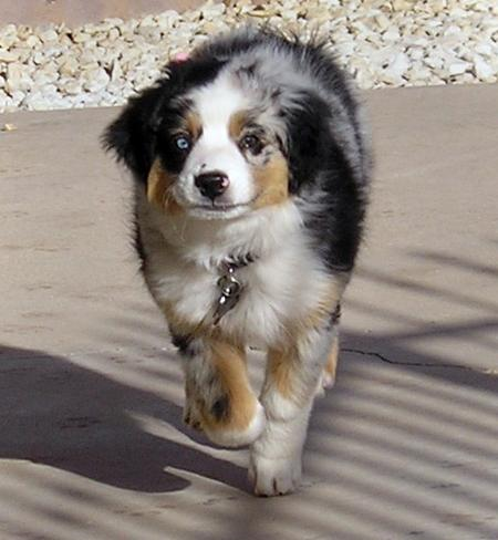 Pepper the Australian Shepherd Pictures 190885