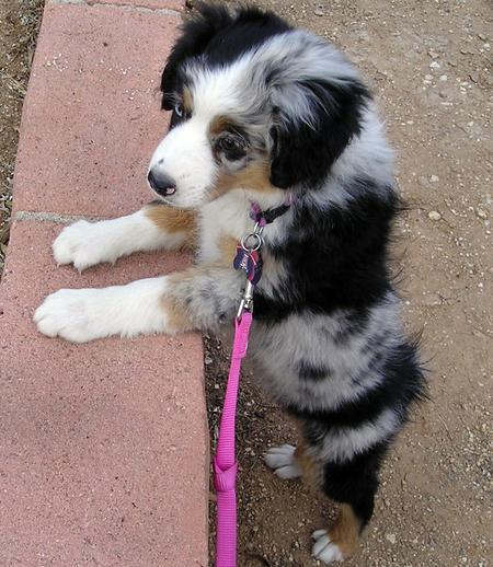 Pepper the Australian Shepherd Pictures 190888