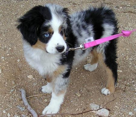 Pepper the Australian Shepherd Pictures 190887