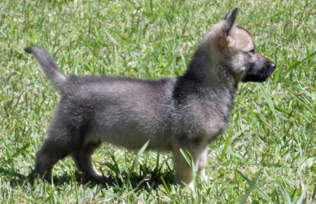 Sammy the Swedish Vallhund Pictures 180015