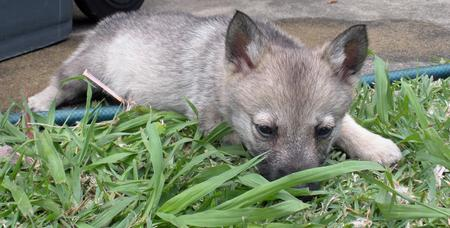 Sammy the Swedish Vallhund Pictures 180012