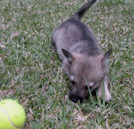 Sammy the Swedish Vallhund Pictures 180009