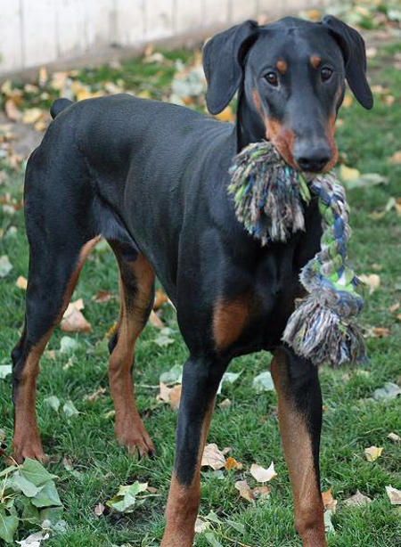Milo the Doberman Pinscher Pictures 364246