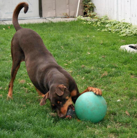 Harley the Doberman Mix Pictures 202940