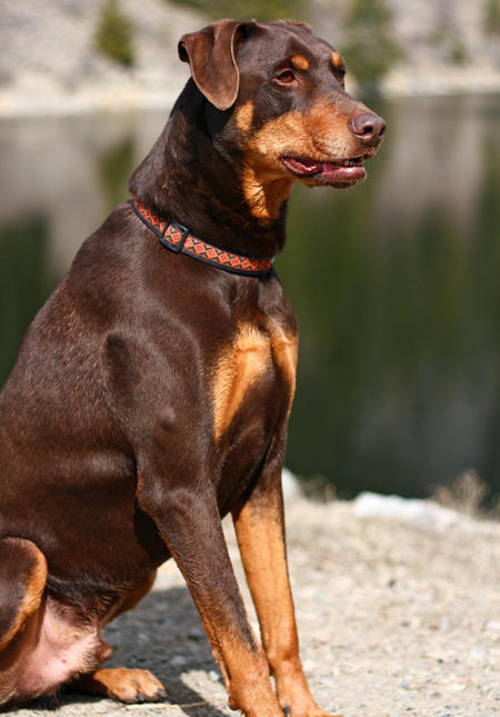Harley the Doberman Mix Pictures 202939