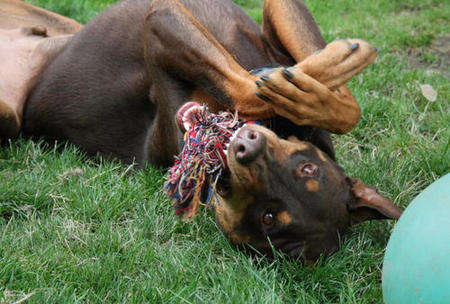 Harley the Doberman Mix Pictures 202937