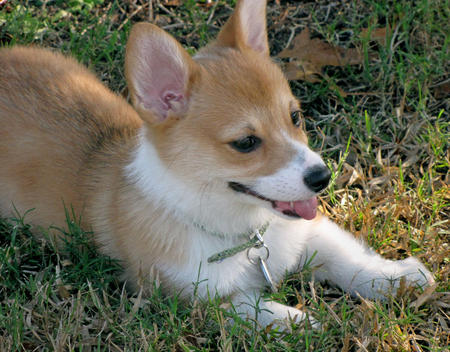 Einstein the Pembroke Welsh Corgi Pictures 195090
