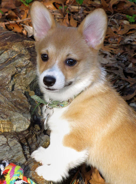 Einstein the Pembroke Welsh Corgi Pictures 195096