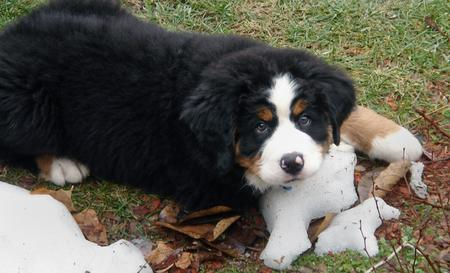 Cooper the Bernese Mountain Dog Pictures 181374