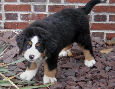Cooper the Bernese Mountain Dog Pictures 181375