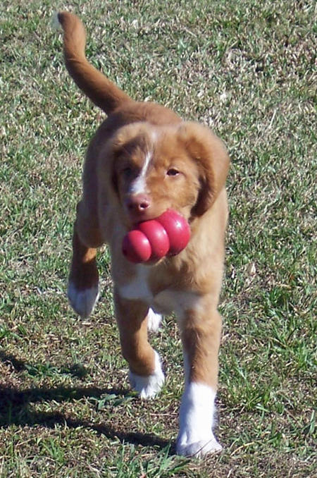 Decoy the Duck Tolling Retriever Pictures 389286