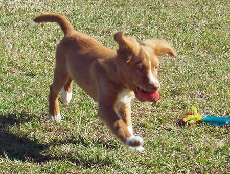 Decoy the Duck Tolling Retriever Pictures 389287