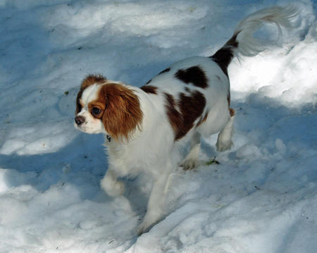 Stitch the Cavalier King Charles Spaniel Pictures 328276