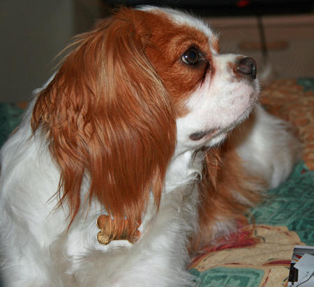 Stitch the Cavalier King Charles Spaniel Pictures 328274
