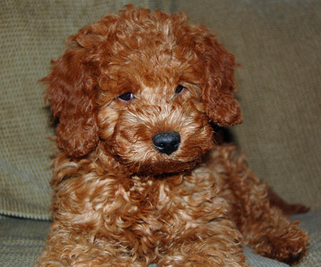Noah the Miniature Goldendoodle Pictures 218517