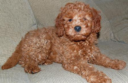 Noah the Miniature Goldendoodle Pictures 218519