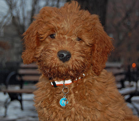 Noah the Miniature Goldendoodle Pictures 218521