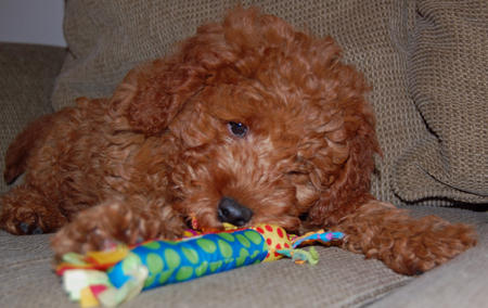 Noah the Miniature Goldendoodle Pictures 218518