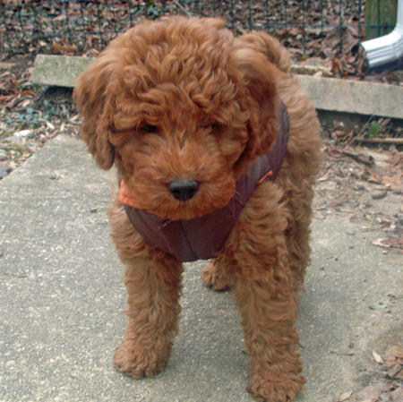 Noah the Miniature Goldendoodle Pictures 218516
