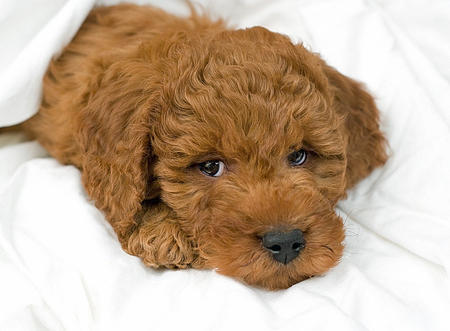 Noah the Miniature Goldendoodle Pictures 218514