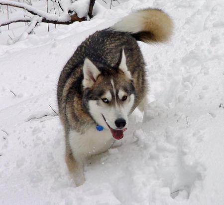 Jasper the Siberian Husky Pictures 190197