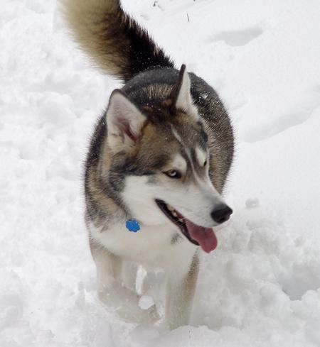 Jasper the Siberian Husky Pictures 190198
