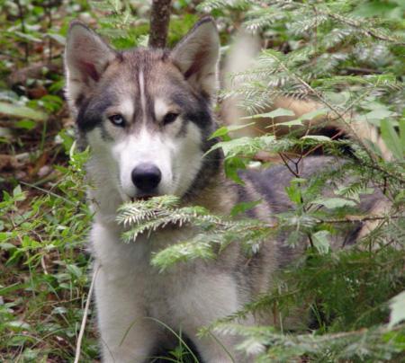 Jasper the Siberian Husky Pictures 190196
