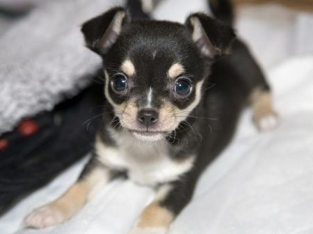 Hero the Chihuahua Pictures 190352