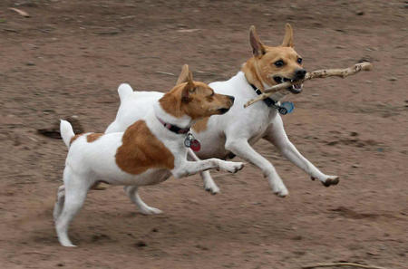 Henry the Toy Fox Terrier Pictures 235293