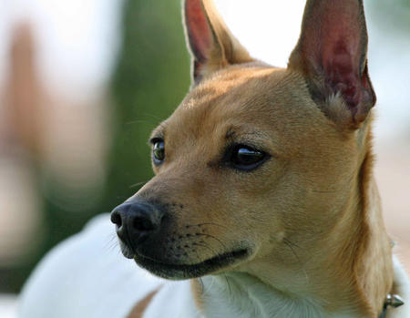 Henry the Toy Fox Terrier Pictures 235297