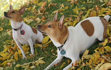 Henry the Toy Fox Terrier Pictures 235289