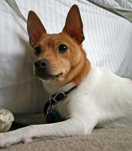 Henry the Toy Fox Terrier Pictures 235288