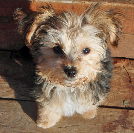 Dachshund Maltese Yorkie Mix Images & Pictures - Becuo