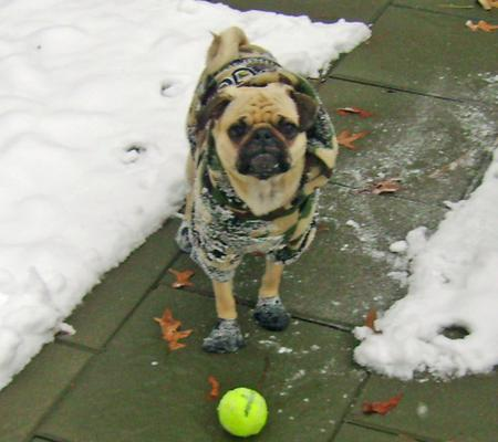 Wilson the Pug Pictures 191545