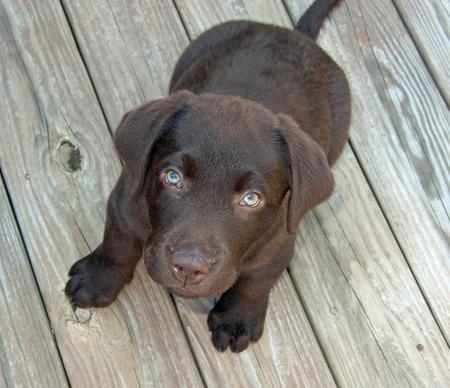 Moose the Labrador Retriever Pictures 193561