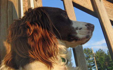 Olive the Brittany Spaniel Pictures 366139