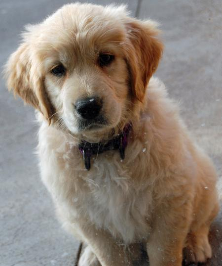 Beatrix the Golden Retriever Pictures 199111