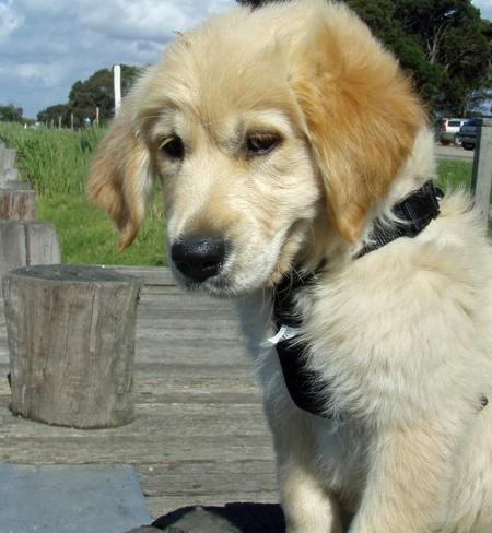 Beatrix the Golden Retriever Pictures 199109