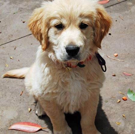 Beatrix the Golden Retriever Pictures 199115