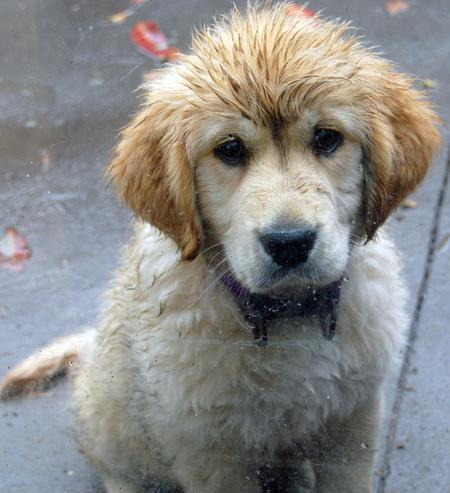 Beatrix the Golden Retriever Pictures 199114
