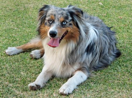 Maya the Australian Shepherd Pictures 205815