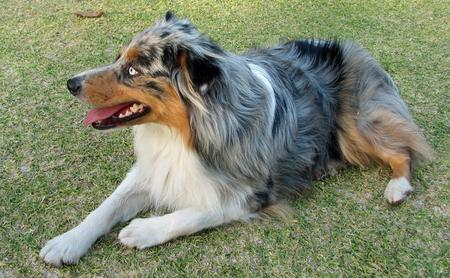 Maya the Australian Shepherd Pictures 205814
