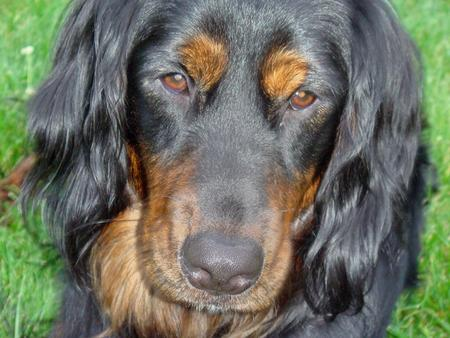 Loki the Gordon Setter Pictures 200614