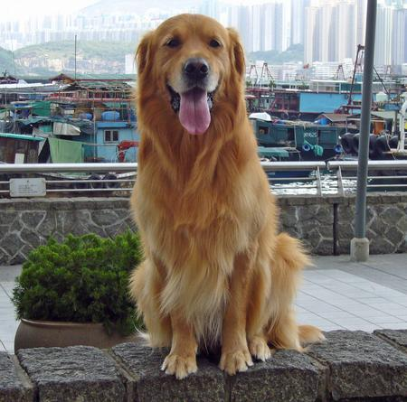 Bobo the Golden Retriever Pictures 201589