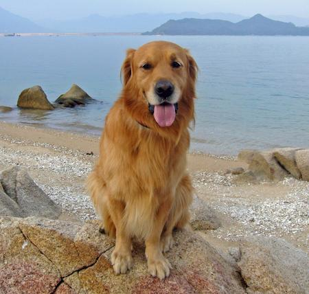 Bobo the Golden Retriever Pictures 201590