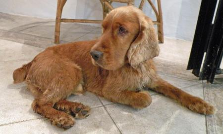Peter the Cocker Spaniel  Pictures 205244