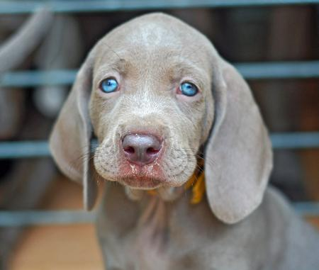 Lucy the Weimaraner Pictures 204765