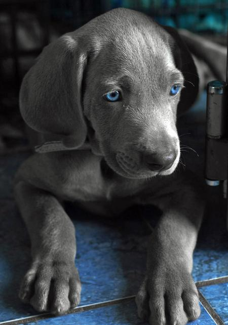 Lucy the Weimaraner Pictures 204767